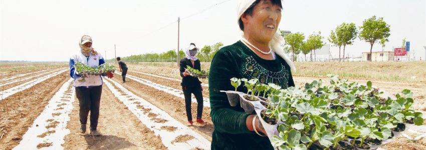 又是一年栽瓜时,岳里瓜农们正忙着栽植西瓜