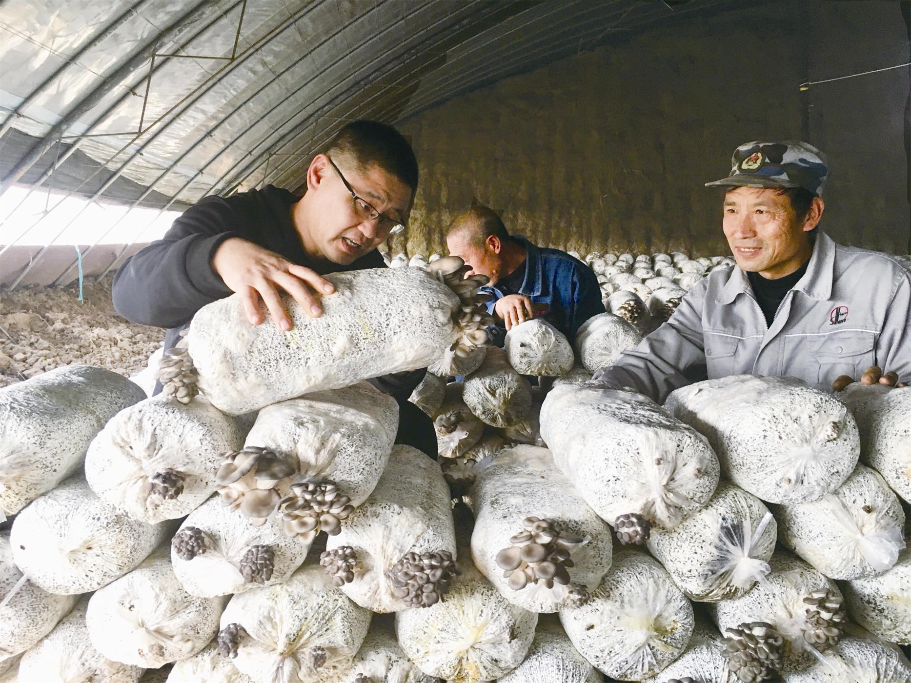 大棚蘑菇铺富路