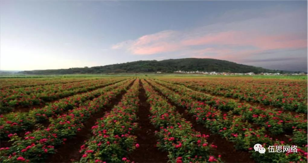神奇的华隆玫瑰花,绿化(好种植长得美)、医用(理气活血收敛)、食用(风味独特营养丰富)