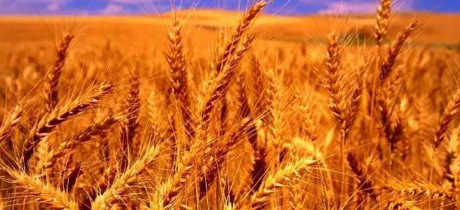 无棣抢收小麦20万亩 预计玉米播种面积54万亩