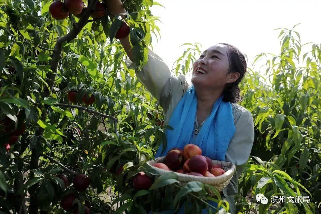 油桃采摘正当时!无棣绿色庄园150亩油桃+蟠桃 等你来采摘