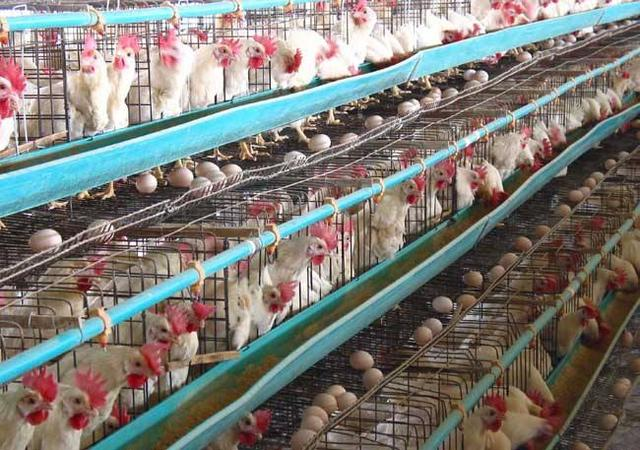 蛋鸡产蛋期违法添加氟苯尼考,被检察院起诉!