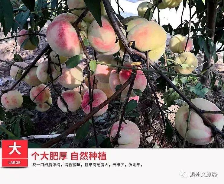 舌尖难忘心头 无棣海丰簸箕赵180亩的冬桃 10月12日开园采摘