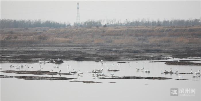 """300余只小天鹅""""翔集""""无棣饮马湖湿地公园"""