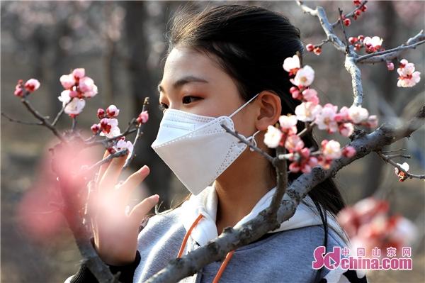 无棣县大齐杏花村的杏花惊艳了整个春天