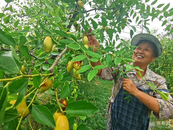 无棣马牙枣成熟进入采摘季 亩产高达万斤