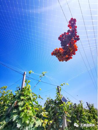 又到了葡萄成熟的季节,藤架上一颗颗圆润饱满、晶莹剔透的果实充满了甜蜜的诱惑。