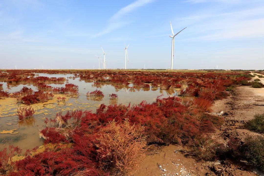 深秋的无棣有一种红叫红海滩,映红半边天