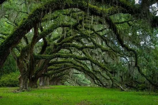 全球最美的树,最后一棵惊艳了千年!